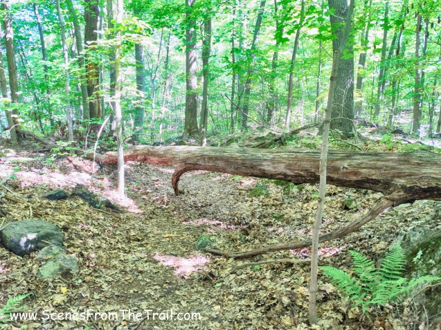 blowdown on blue blazed trail