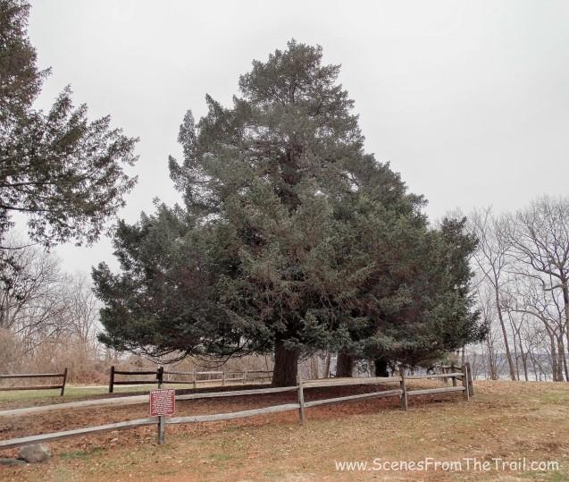 Historic Croton Yew