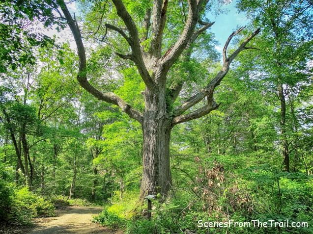200 year Oak tree