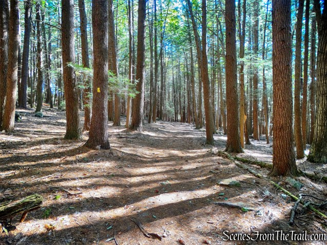 old-growth Hemlocks - Damascus Forest Trail
