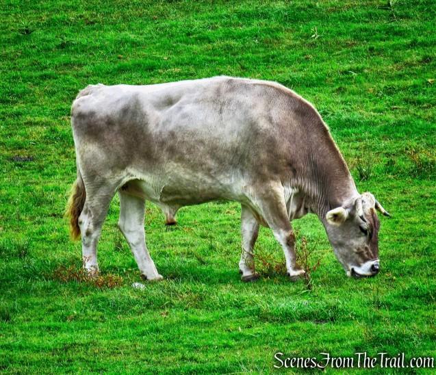 Bull - Gibbet Hill