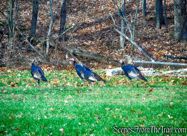 turkeys - Hackett Hill Park