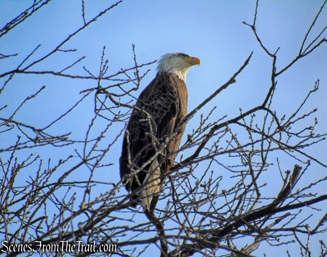 Bald Eagle - Tarrytown Lakes
