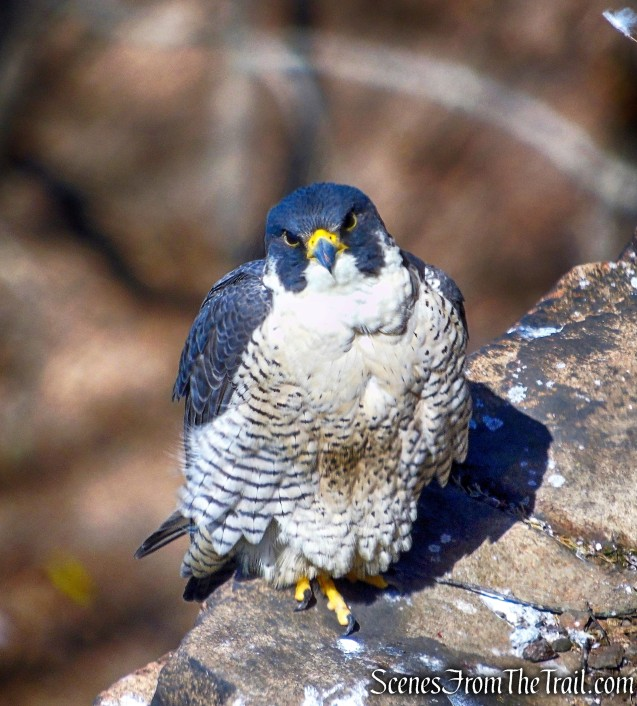 Peregrine Falcon - East Rock Park