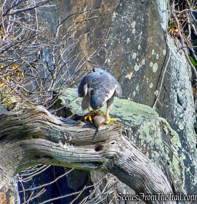 Peregrine Falcon - Palisades cliffs