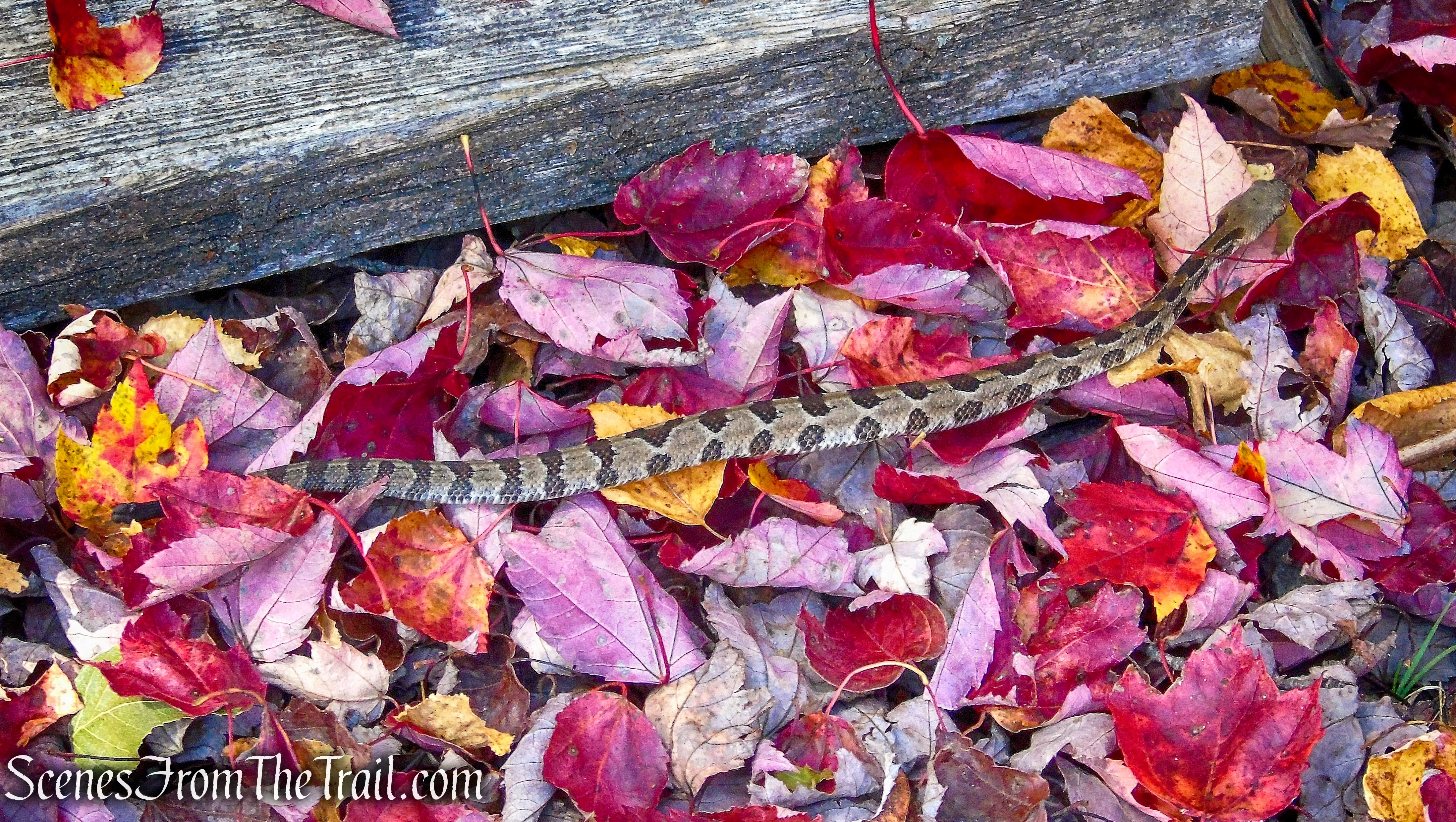 Timber Rattlesnake - Lake Awosting Carriage Road - Minnewaska State Park Preserve