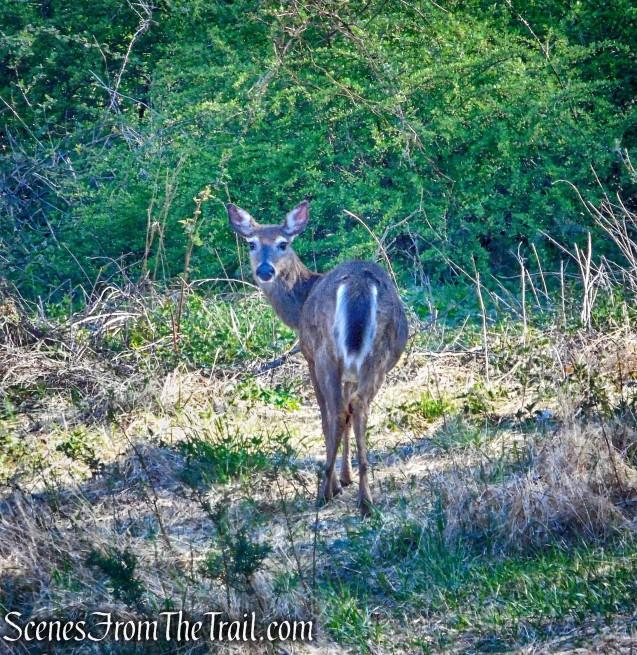 White-tailed deer - Rockefeller State Park Preserve