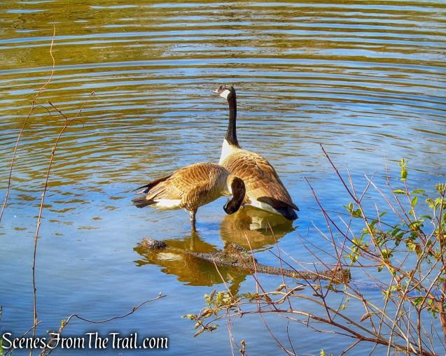 Geese - Halsey Pond Park