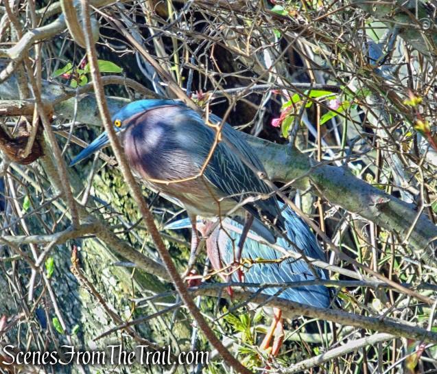 Green Herons - Halsey Pond Park