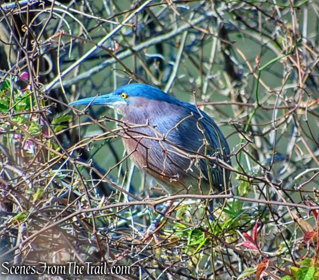 Green Heron - Halsey Pond Park