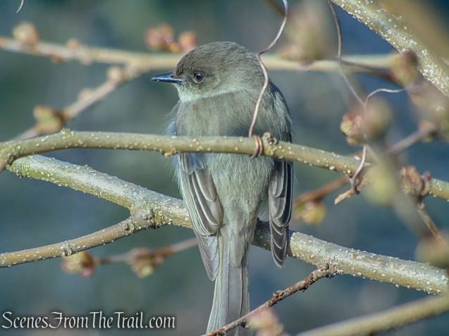 Grey Warbler - Halsey Pond Park