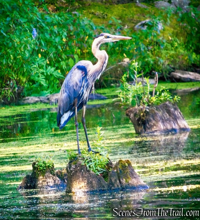 Great Blue Heron - Winding Hills Park