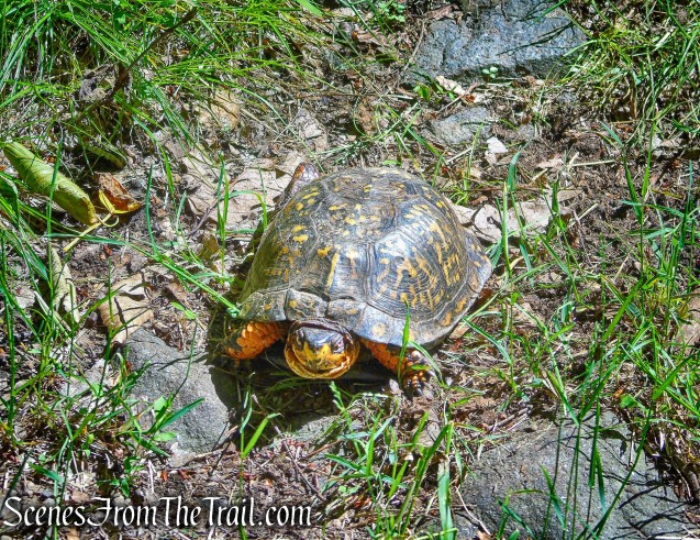 Box Turtle on woods road - Salt Hill State Forest