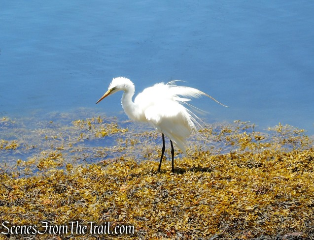 Great Egret - Larchmont Manor Park