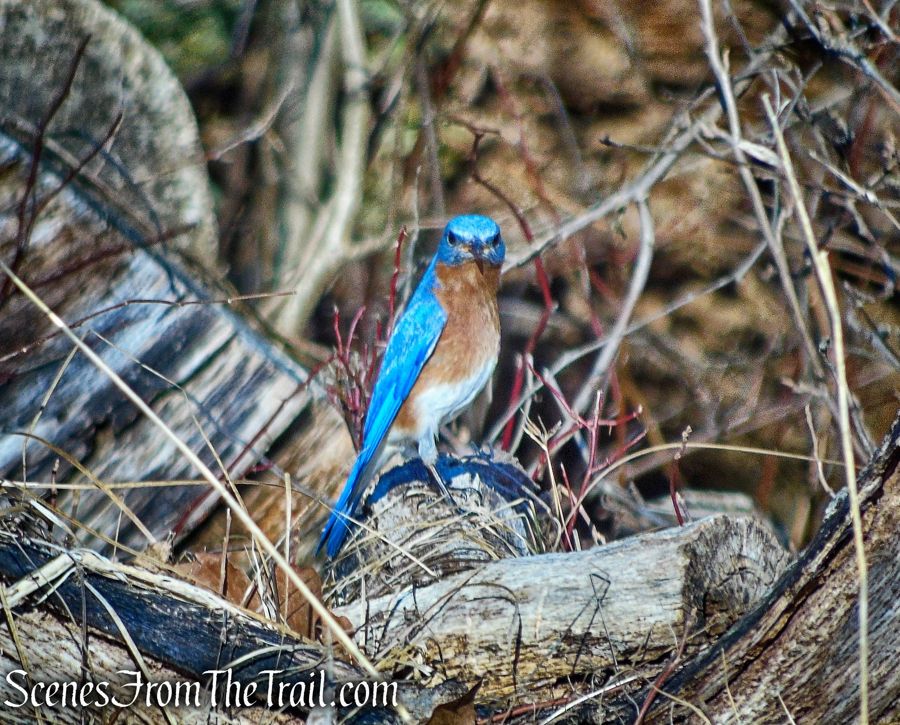 Eastern Bluebird - Nimham Mountain summit