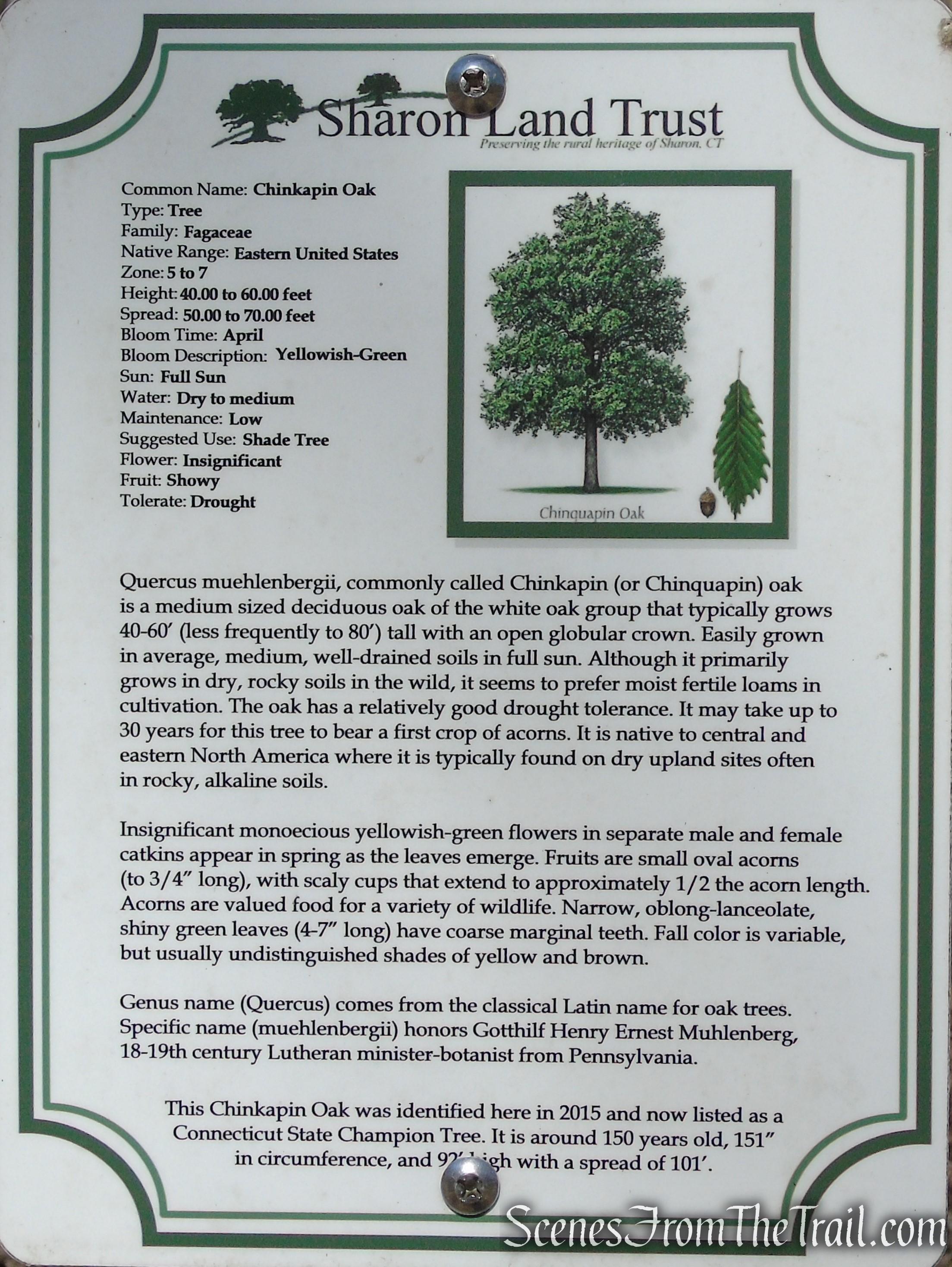 Chinkapin Oak - Sharon Land Trust