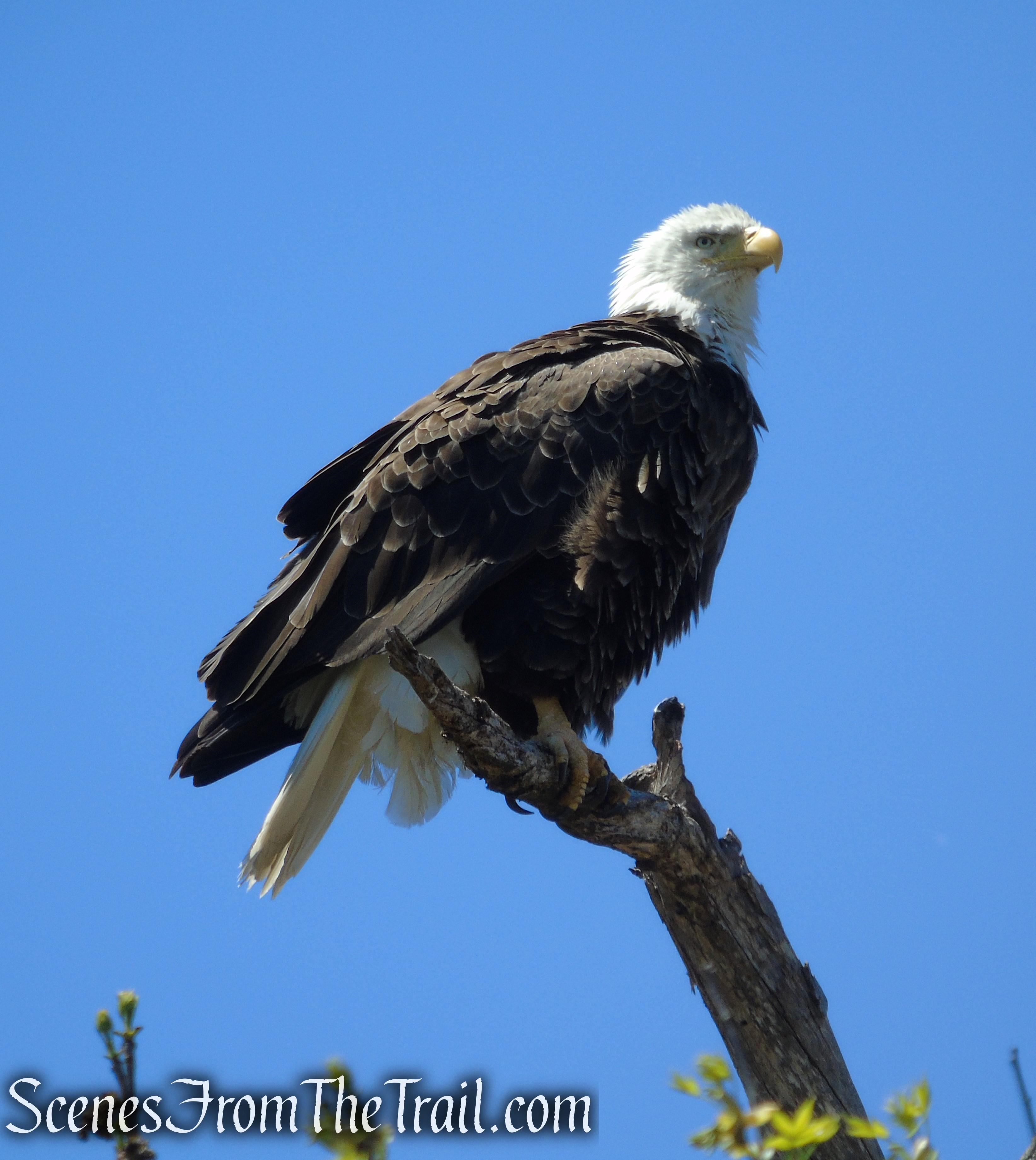 Bald Eagle - Appalachian Trail - Delaware Water Gap